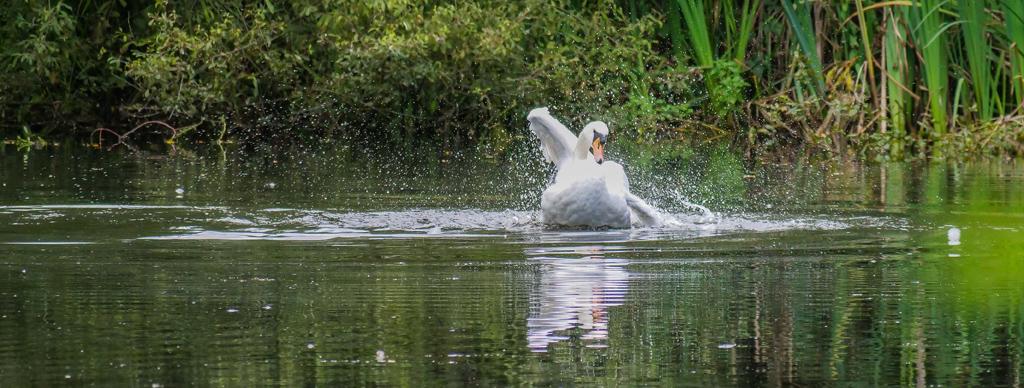 Swan on Bookham Common Pond